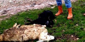 Gercüş'te ani hayvan ölümlerinin önüne geçilemiyor