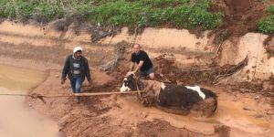 Nusaybin'de inek saplandığı çamurdan 5 saat sonra kurtarıldı