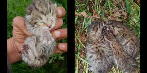 Çınar'da leopar yavruları görüldü