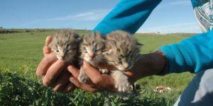 Çınar'da leopar yavruları yeniden görüldü