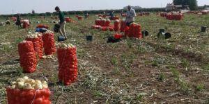 Adana'da soğan hasadı başladı