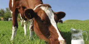 İnek sütü üretimi azaldı