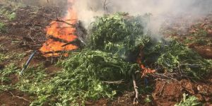 Lice'de 850 kök kenevir bitkisi imha edildi