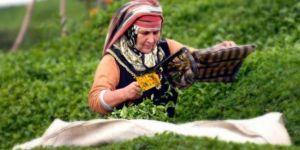 Çay üreticisine budama desteği ödenecek