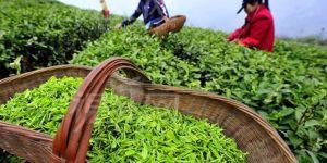 15 percent raise to processed tea