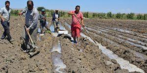 Çiftçiler umudunu ikinci ürüne bağladı