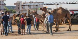 Kızıltepe'de kurbanlık develer ilgi odağı oldu