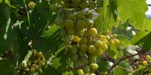 Farmers expect high yield from Mezrona grape