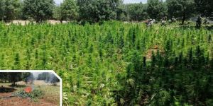 15 million roots of cannabis sativa seized in Diyarbakır