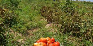 Kavurucu sıcaklar altında domates hasadı
