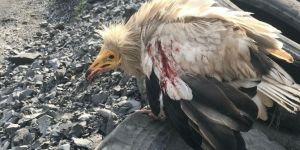 Şırnak'ta Mısır Akbabası doğaya salındıktan 3 gün sonra öldürüldü