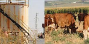 Çınarlı köylüler; Kimyasal atıklardan dolayı hayvanlarımız telef oluyor
