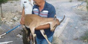 Adana'da yaralı yaban keçisi bulundu