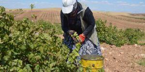 Azezi üzümünün hasadı başladı