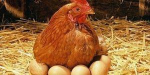 Tavuk yumurtası üretimi bir önceki yıla göre azaldı
