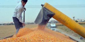 Düşük verim ve yüksek maliyetler gölgesinde mısır hasadı