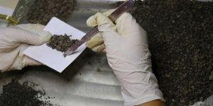 Arkeolojik kazıda 3 bin yıllık buğday bulundu