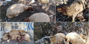 Yavuzeli'nde kurtlar 31 küçükbaş hayvanı telef etti