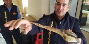Kahta'da nesli tükenmekte olan balaban kuşu bulundu