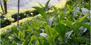 İçişleri Bakanlığı, çay üreticileri için yeni bir genelge yayınladı