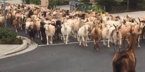 ABD'de Coronavirus nedeniyle boş kalan sokakları keçiler bastı!