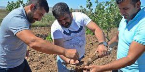 Fıstık bahçelerinde araştırma ve incelemeler devam ediyor
