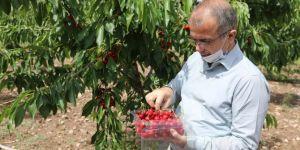 Diyarbakır'da kiraz hasadı başladı