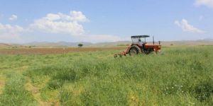 Elazığ Kovancılar'da fiğ hasadı başladı