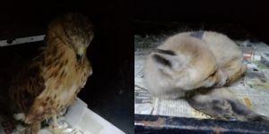 Yaralı tilki yavrusu ile atmacanın tedavisi yapıldı