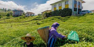 ÇAYKUR: İlk sürgünde 245 bin ton yaş çay toplandı
