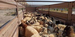 Van'dan Katar'a koyun ihracatı