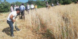 Tillo'da ekilen yerli tohum buğdayın hasadı yapıldı