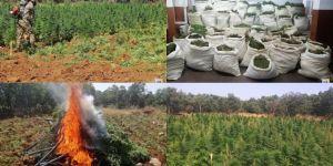 Diyarbakır'da 4 milyon kök kenevir bitkisi ile bir ton 244 kilo esrar ele geçirildi