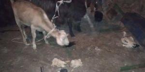 Gaziantep'te küçükbaş hayvan çalan 4 şüpheli suçüstü yakalandı