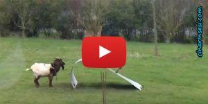 Keçilerin oyunu video