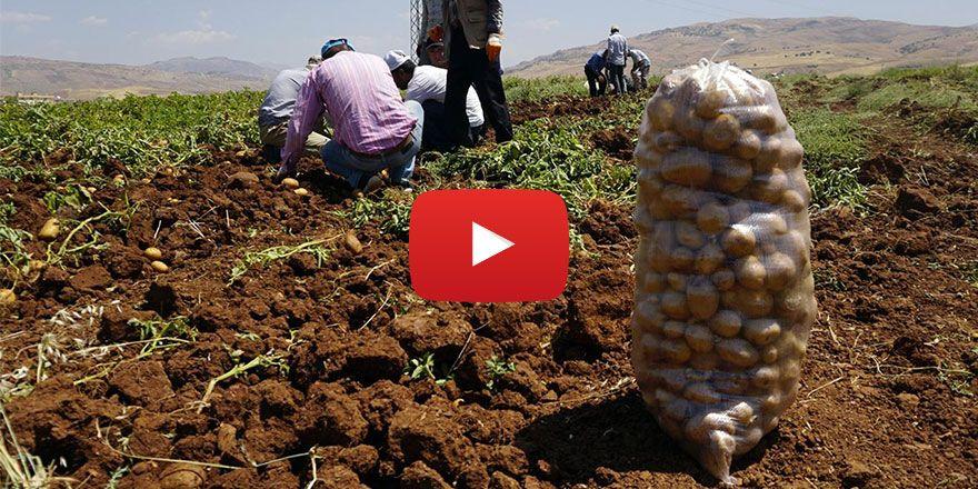 Siirt'te alternatif ürün olarak ekilen patateste ilk hasat